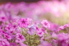 Πορφυρά λωρίδες πετουνιών λουλουδιών με μια θέση στον κήπο Στοκ Εικόνες