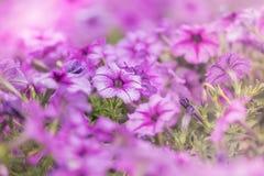 Πορφυρά λωρίδες πετουνιών λουλουδιών με μια θέση στον κήπο Στοκ Φωτογραφία