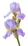 Πορφυρά λουλούδια ίριδων στο άσπρο υπόβαθρο Στοκ Εικόνες