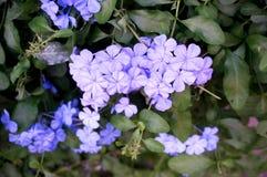 Πορφυρά λουλούδια ακρωτηρίων leadwort Στοκ Εικόνες