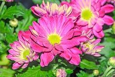 Πορφυρά λουλούδια ανθοδεσμών χρυσάνθεμων, floral ρύθμιση με τα mums Στοκ Εικόνες