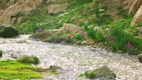 Πορφυρά λουλούδια από τον κρύο ορεινό ατμό άνοιξη στο βίντεο βροχής 4K, Κιργιστάν φιλμ μικρού μήκους