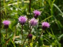 Πορφυρά λουλούδια κάρδων με τα ζωύφια που αναρριχούνται στο μίσχο Στοκ Εικόνες