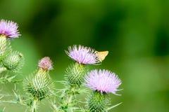 Πορφυρά λουλούδια κάρδων με την κίτρινη πεταλούδα στοκ εικόνα με δικαίωμα ελεύθερης χρήσης
