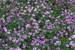 Πορφυρά λουλούδια και πράσινο υπόβαθρο φύλλων Στοκ Φωτογραφία