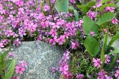 Πορφυρά λουλούδια με μια γκρίζα πέτρα Στοκ εικόνες με δικαίωμα ελεύθερης χρήσης