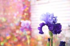 Πορφυρά λουλούδια με το ζωηρόχρωμο υπόβαθρο Στοκ φωτογραφία με δικαίωμα ελεύθερης χρήσης