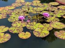 Πορφυρά λουλούδια νερού Στοκ Εικόνες