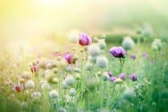 Πορφυρά λουλούδια παπαρουνών Στοκ Εικόνες