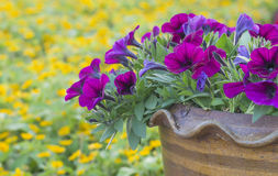Πορφυρά λουλούδια πετουνιών στο κεραμικό δοχείο Στοκ φωτογραφία με δικαίωμα ελεύθερης χρήσης