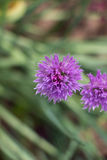 Πορφυρά λουλούδια σκόρδου Στοκ Φωτογραφίες