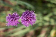 Πορφυρά λουλούδια σκόρδου Στοκ εικόνα με δικαίωμα ελεύθερης χρήσης