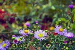 Πορφυρά λουλούδια στην κινηματογράφηση σε πρώτο πλάνο κήπων φθινοπώρου Στοκ Φωτογραφίες