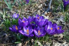 Πορφυρά λουλούδια στην πλήρη άνθιση την άνοιξη Στοκ Φωτογραφίες