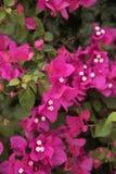 Πορφυρά λουλούδια της Νίκαιας του bougainvillea στο πράσινο υπόβαθρο φύσης Στοκ φωτογραφίες με δικαίωμα ελεύθερης χρήσης