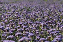 Πορφυρά λουλούδια του δαντελλωτός tanacetifolia phaceliaPhacelia στοκ φωτογραφίες με δικαίωμα ελεύθερης χρήσης