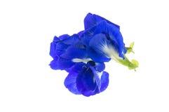 Πορφυρά λουλούδια του μπιζελιού πεταλούδων (Ternatea Clitoria) απομονώστε επάνω Στοκ Εικόνα