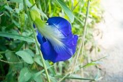 Πορφυρά λουλούδια του μπιζελιού πεταλούδων (Ternatea Clitoria) Στοκ Εικόνα