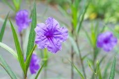 Πορφυρά λουλούδια το πρωί στοκ εικόνες με δικαίωμα ελεύθερης χρήσης