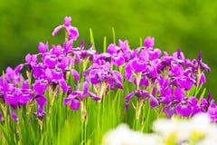 Πορφυρά λουλούδια των ίριδων Στοκ Εικόνα