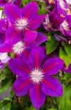 Πορφυρά λουλούδια των εγκαταστάσεων clematis στοκ εικόνα με δικαίωμα ελεύθερης χρήσης