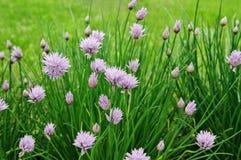 Πορφυρά λουλούδια των φρέσκων κρεμμυδιών, Allium άνθιση tuberosum Στοκ φωτογραφία με δικαίωμα ελεύθερης χρήσης
