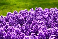 Πορφυρά λουλούδια υάκινθων Στοκ Φωτογραφίες