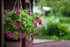 Πορφυρά λουλούδια υπαίθρια Στοκ Εικόνες
