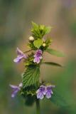 πορφυρά λουλούδια υπό μορφή ατόμων στις εγκαταστάσεις purpureum Lamium Στοκ φωτογραφία με δικαίωμα ελεύθερης χρήσης