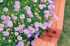 πορφυρά λουλούδια χρυσάνθεμων στον κήπο Στοκ Εικόνα