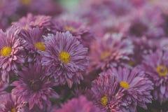 Πορφυρά λουλούδια χρυσάνθεμων φθινοπώρου, ρηχά Στοκ φωτογραφίες με δικαίωμα ελεύθερης χρήσης