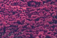 Πορφυρά λουλούδια χρυσάνθεμων φθινοπώρου, ρηχά Στοκ Εικόνες