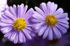 Πορφυρά λουλούδια χρυσάνθεμων Στοκ φωτογραφίες με δικαίωμα ελεύθερης χρήσης