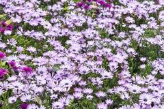 Πορφυρά λουλούδια χρυσάνθεμων Στοκ Εικόνες