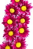 Πορφυρά λουλούδια χρυσάνθεμων Στοκ φωτογραφία με δικαίωμα ελεύθερης χρήσης