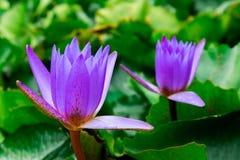 Πορφυρά λουλούδια λωτού χρώματος στη λίμνη, λουλούδι φύσης Στοκ φωτογραφίες με δικαίωμα ελεύθερης χρήσης