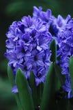 Πορφυρά λουλούδια Στοκ Εικόνα