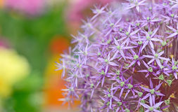 Πορφυρά λουλούδια Allium Στοκ Εικόνες