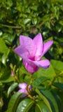 Πορφυρά λουλούδια Apocynaceae Στοκ εικόνα με δικαίωμα ελεύθερης χρήσης