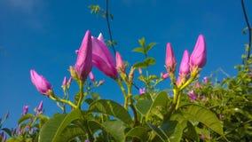 Πορφυρά λουλούδια Apocynaceae Στοκ Εικόνες