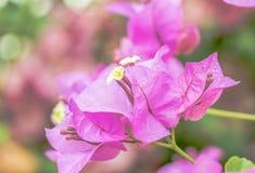 Πορφυρά λουλούδια Bougainvillea Στοκ Εικόνα