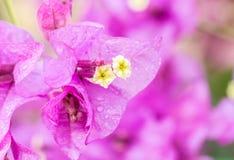 Πορφυρά λουλούδια Bougainvillea Στοκ φωτογραφία με δικαίωμα ελεύθερης χρήσης