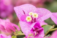 Πορφυρά λουλούδια Bougainvillea Στοκ Εικόνες