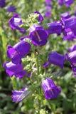 Πορφυρά λουλούδια Campanula Στοκ Εικόνες