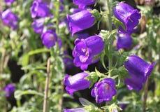 Πορφυρά λουλούδια Campanula Στοκ εικόνα με δικαίωμα ελεύθερης χρήσης