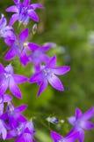 Πορφυρά λουλούδια campanula Στοκ φωτογραφία με δικαίωμα ελεύθερης χρήσης
