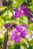 Πορφυρά λουλούδια clematis στον κήπο Στοκ Εικόνες