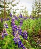Πορφυρά λουλούδια lupines Στοκ Εικόνα