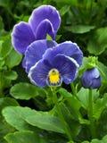 Πορφυρά λουλούδια Pansy στοκ φωτογραφία με δικαίωμα ελεύθερης χρήσης