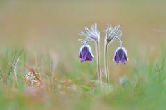 Πορφυρά λουλούδια pasque στα βουνά στοκ φωτογραφίες με δικαίωμα ελεύθερης χρήσης